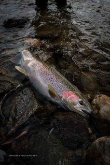 Stealhead from the salmon river, Idaho